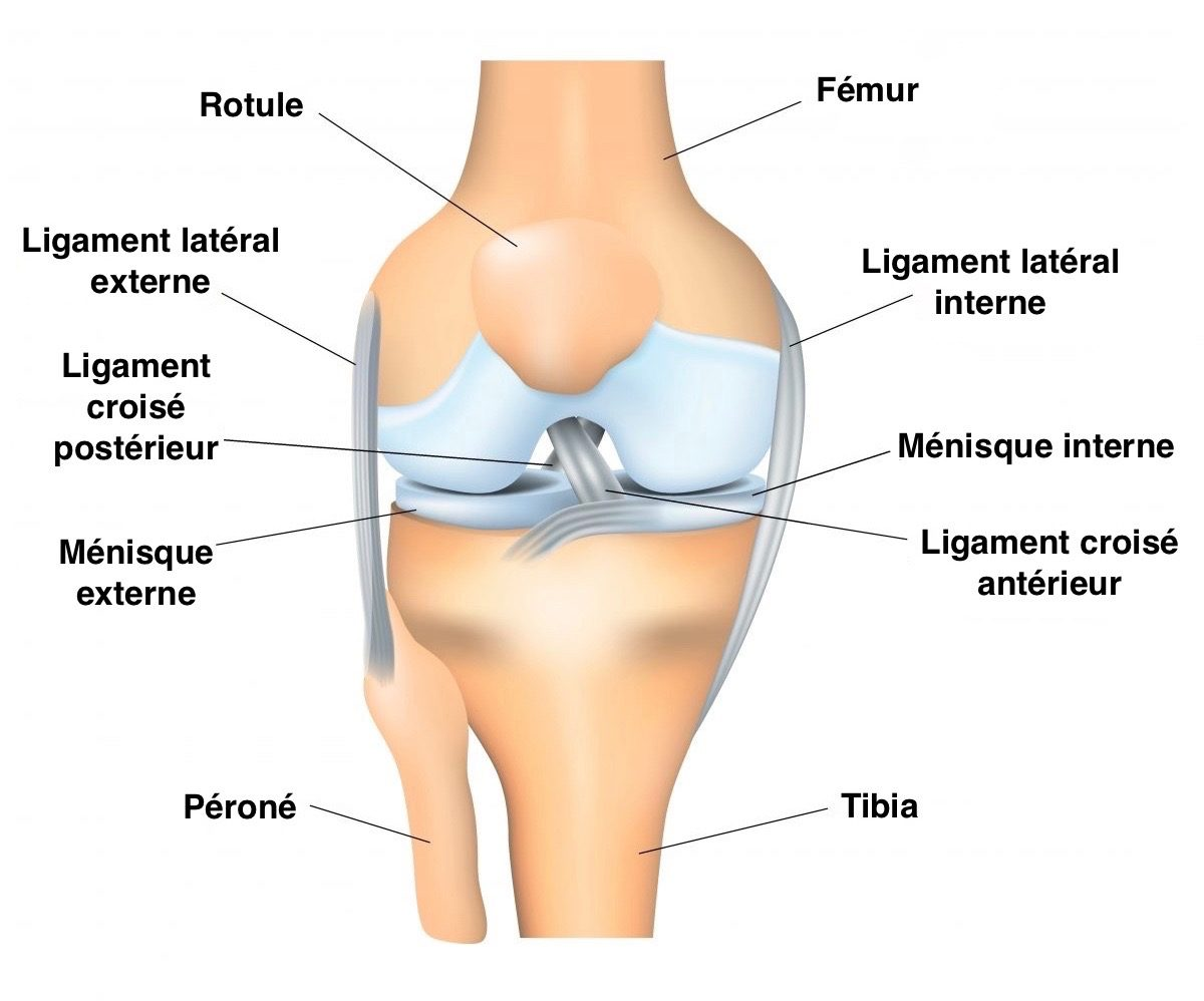 dessin montrant cartilage ménisques et ligaments du genou Dr SIMIAN Périgueux